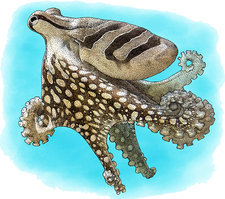 Striped Octopus, Illustration