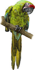 Military Macaw, Illustration
