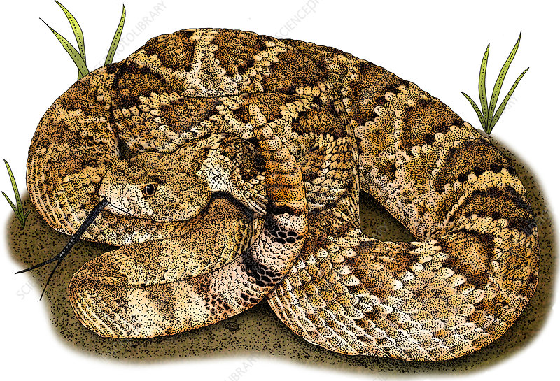Mohave Rattlesnake, Illustration