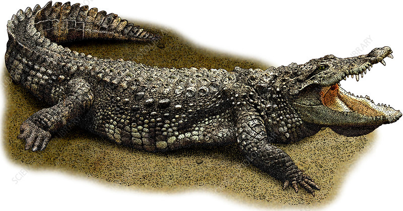 Mugger Crocodile, Illustration