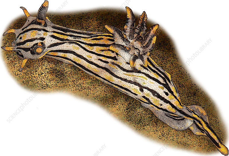 Orange Spike Polycera, Illustration