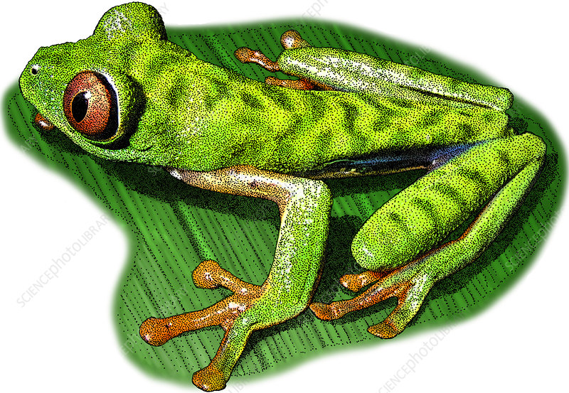 Red Eyed Leaf Frog, Illustration