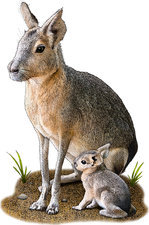 Patagonian Mara, Illustration