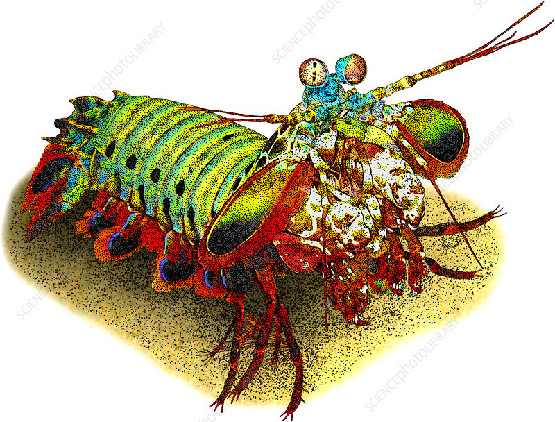Peacock Mantis Shrimp, Illustration