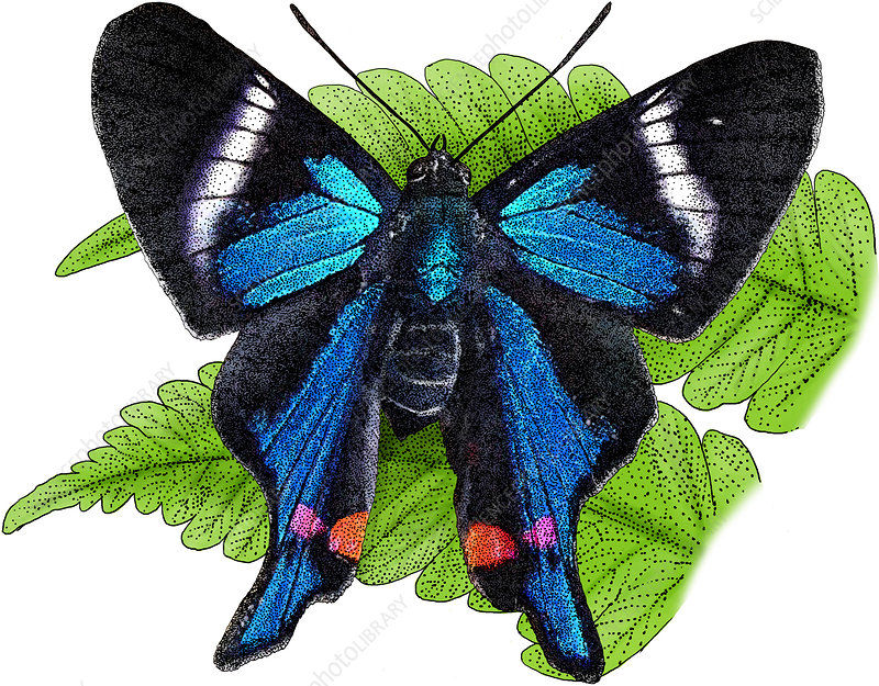 Periander Metalmark, Illustration
