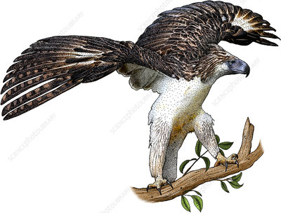 Philippine Eagle, Illustration