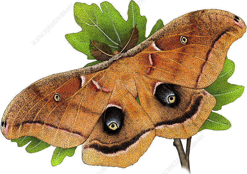 Polyphemus Moth, Illustration