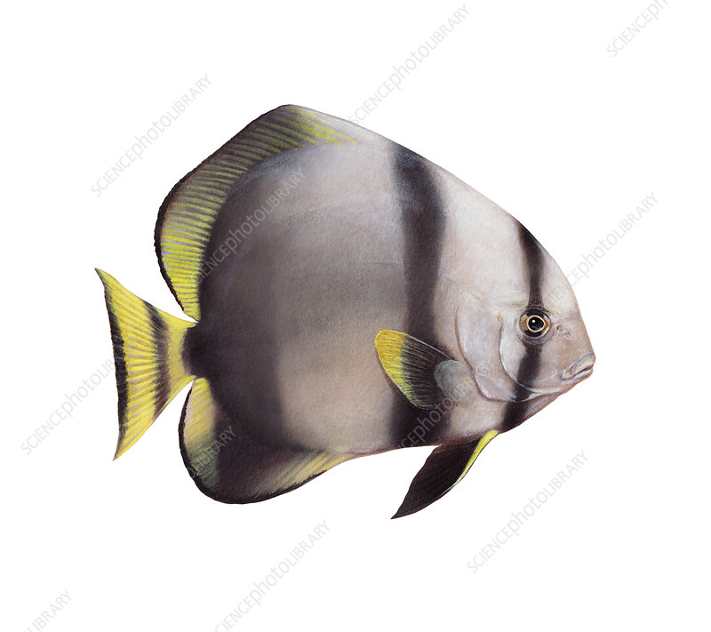 Orbicular Batfish, Illustration