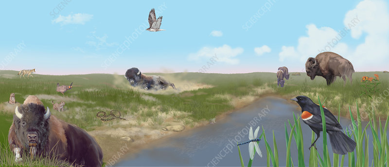 Prairie Scene with Bison, Illustration