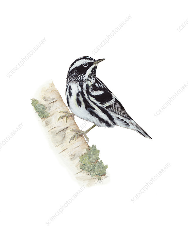 Black and White Warbler, Illustration