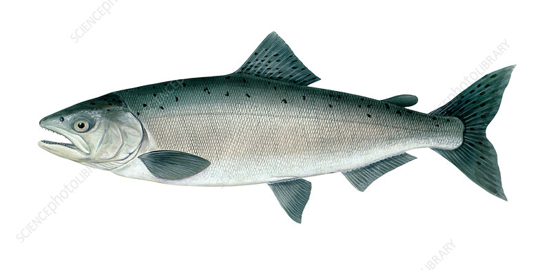 Chinook Salmon, Illustration