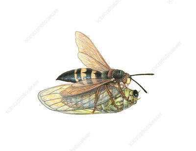 Cicada Killer Wasp, Illustration