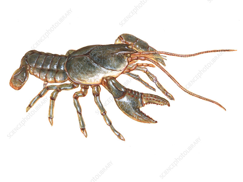Crayfish, Illustration
