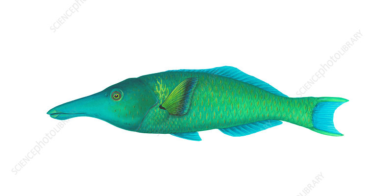 Green Bird Wrasse, Illustration