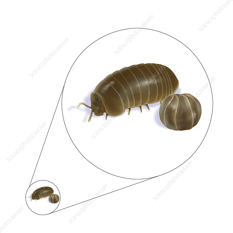 Pillbug, Illustration
