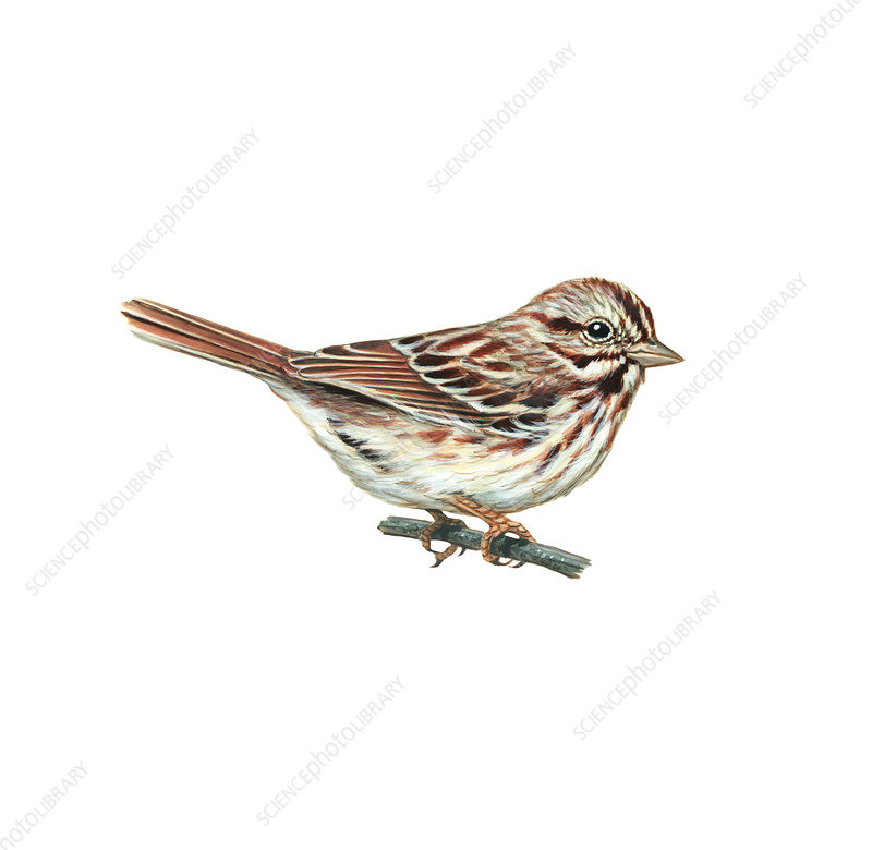 Song Sparrow, Illustration