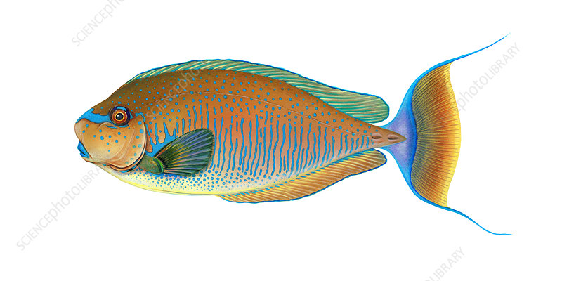 Bignose Unicornfish, Illustration