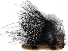 African Crested Porcupine, Illustration