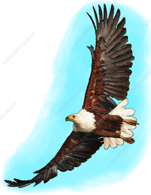 African Fish Eagle, Illustration