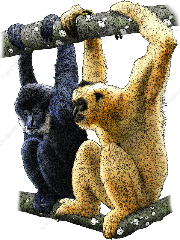 Black Crested Gibbons, Illustration