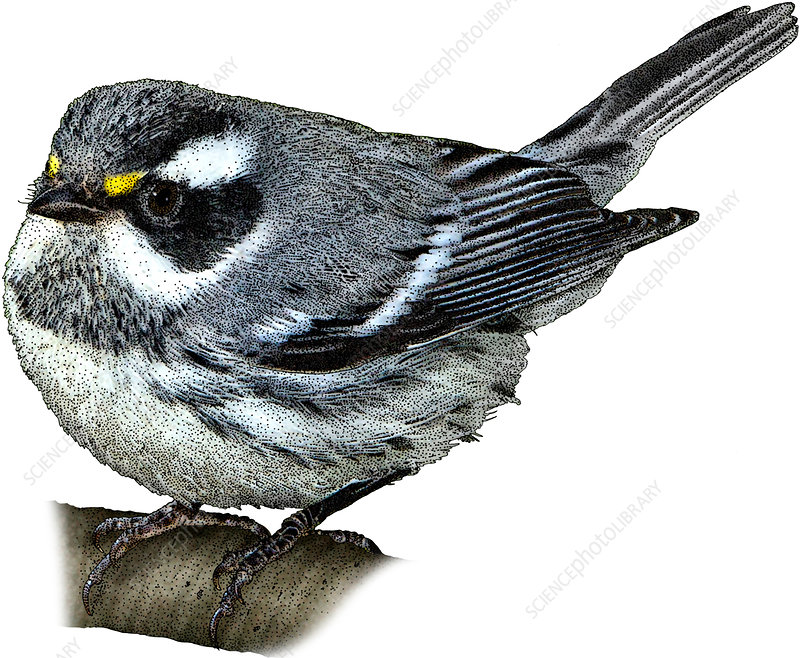 Black-Throated Gray Warbler, Illustration
