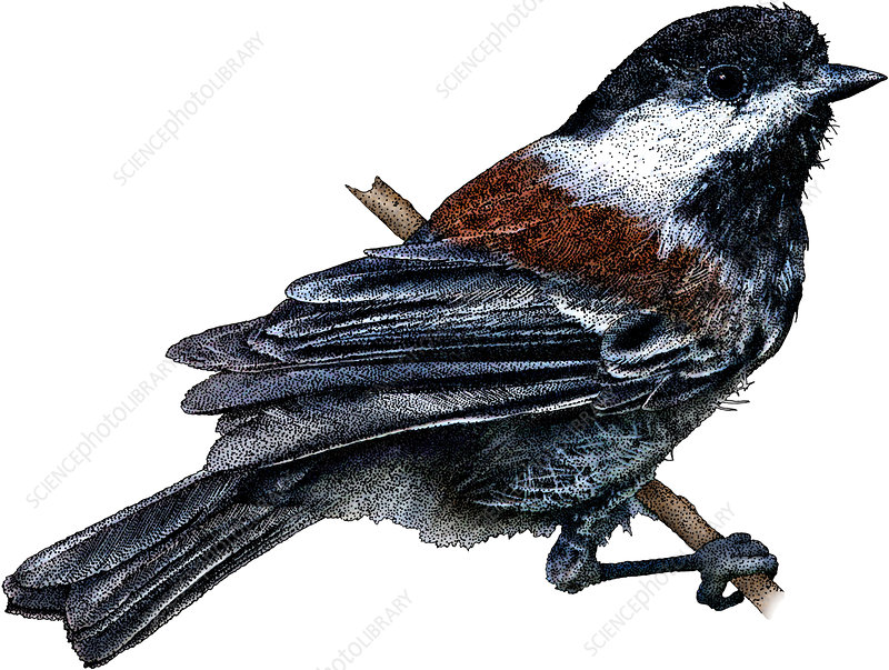 Chestnut Backed Chickadee, Illustration