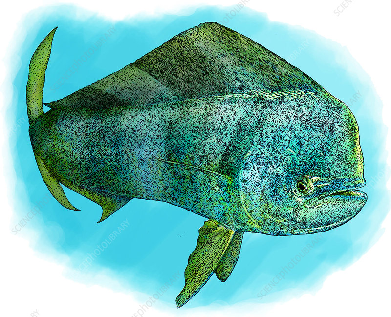 Common Dolphinfish, Illustration