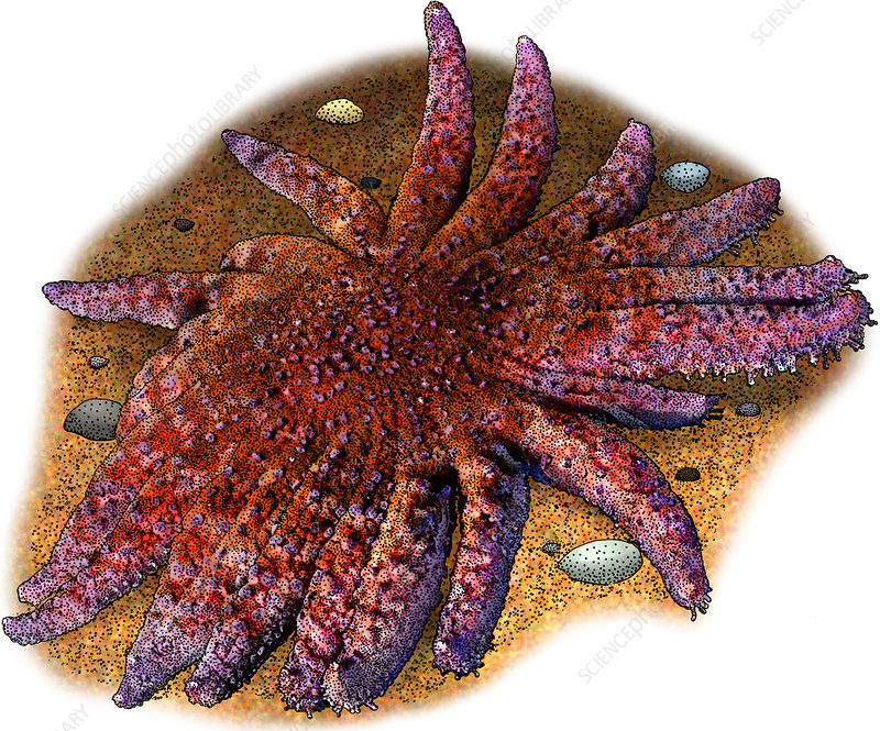 Common Sunstar, Illustration