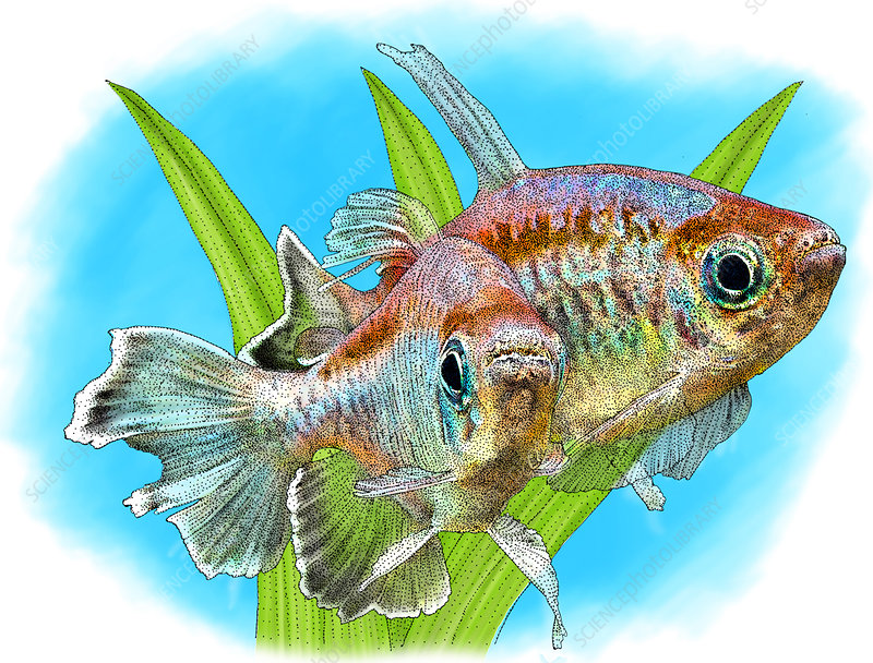 Congo Tetras, Illustration