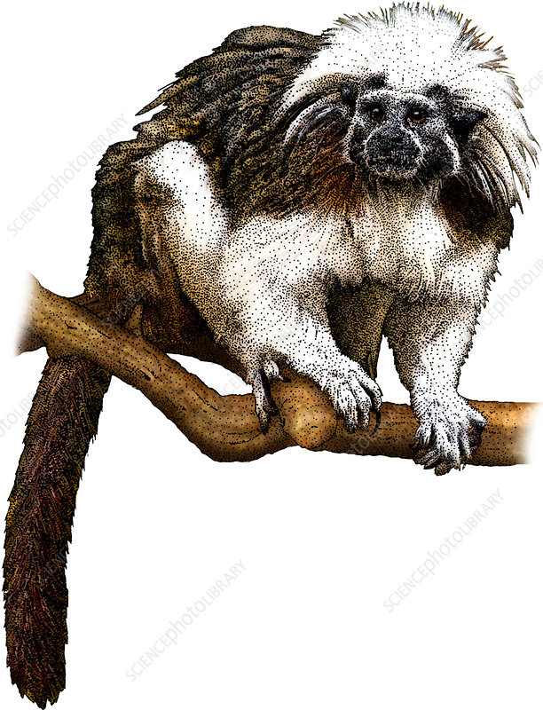 Cotton Top Tamarin, Illustration