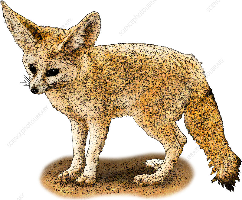 Fennec Fox, Illustration