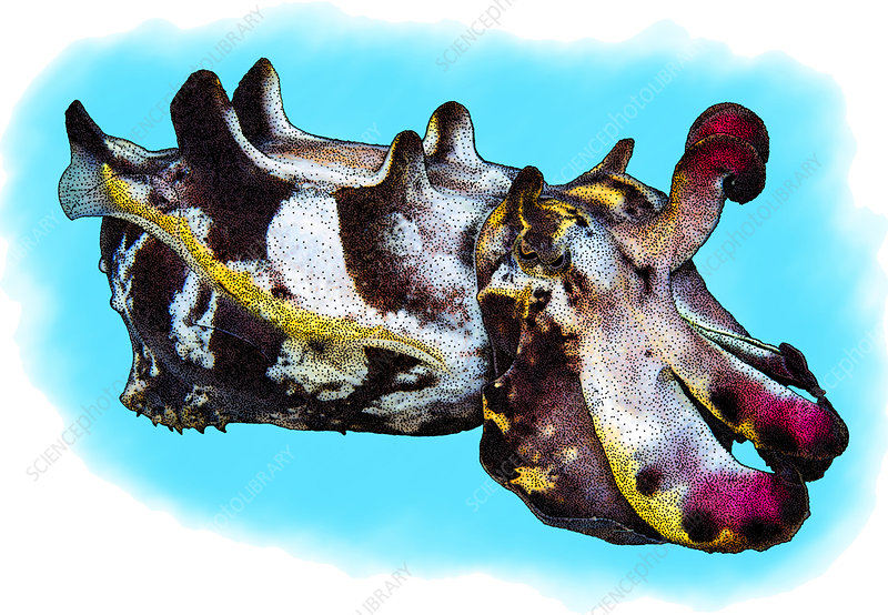 Flamboyant Cuttlefish, Illustration