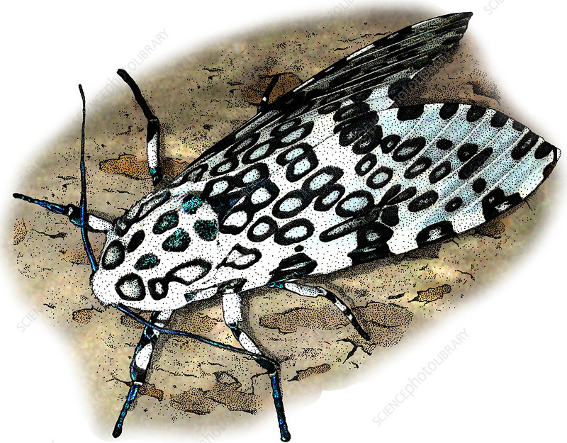Giant Leopard Moth, Illustration