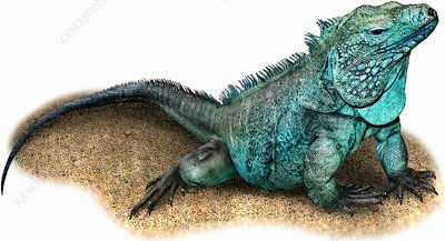 Grand Cayman Blue Iguana, Illustration