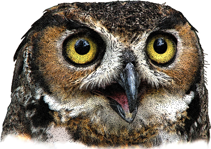 Great Horned Owl, Illustration