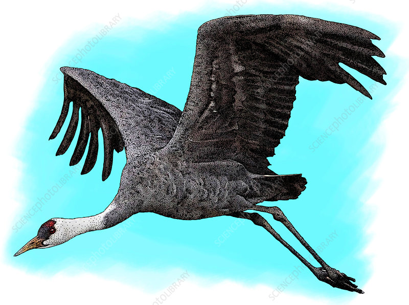 Hooded Crane, Illustration