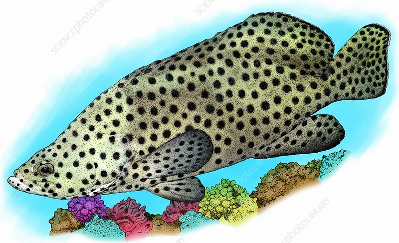 Humpback Grouper, Illustration