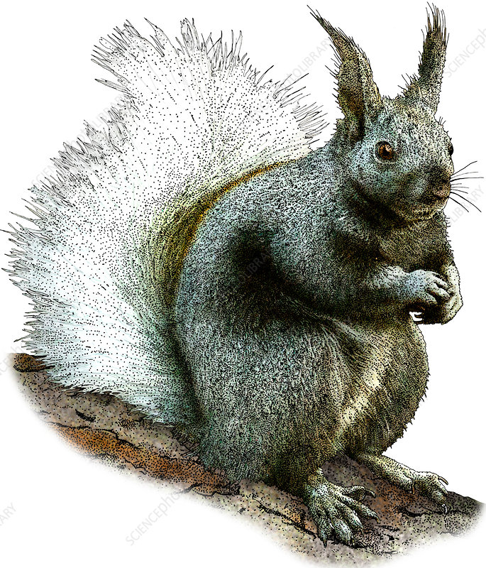 Kaibab Squirrel, Illustration