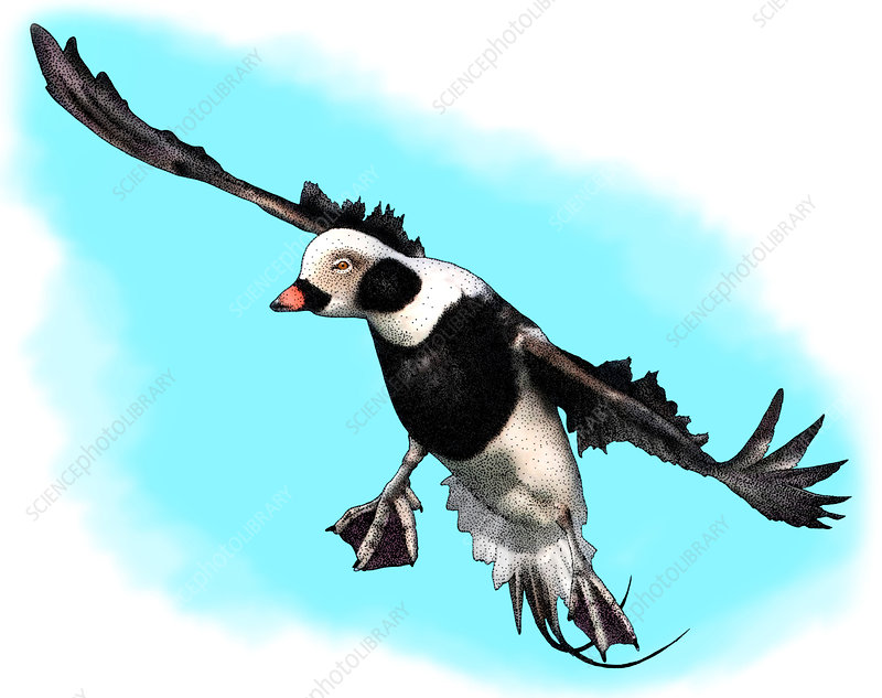 Long Tailed Duck, Illustration
