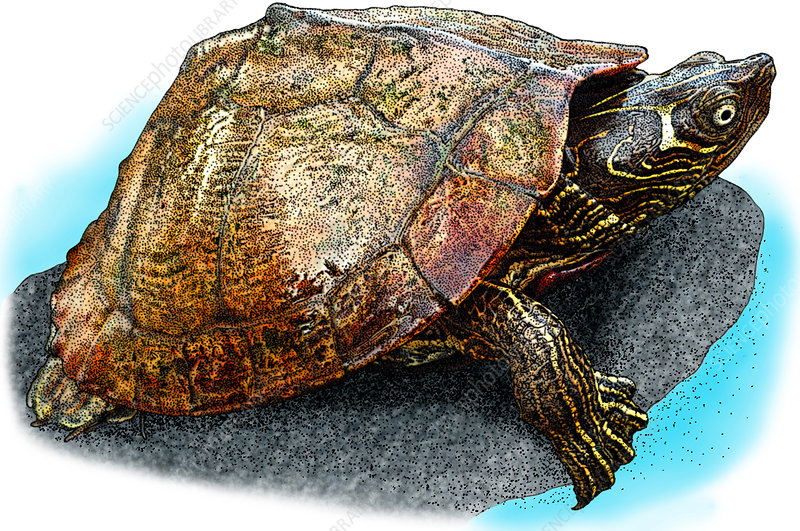 Mississippi Map Turtle, Illustration