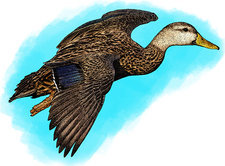 Mottled Duck, Illustration