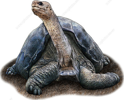 Pinta Island Tortoise, Illustration