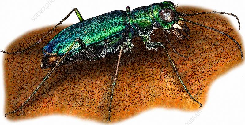 Punctured Tiger Beetle, Illustration