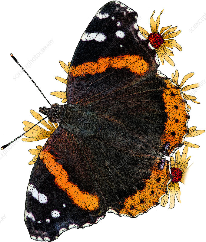 Red Admiral Butterfly, Illustration