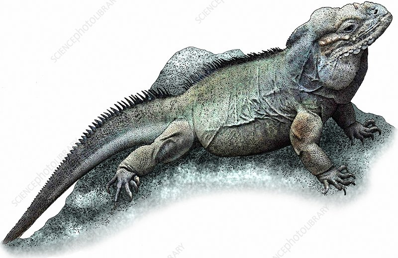 Rhinoceros Iguana, Illustration