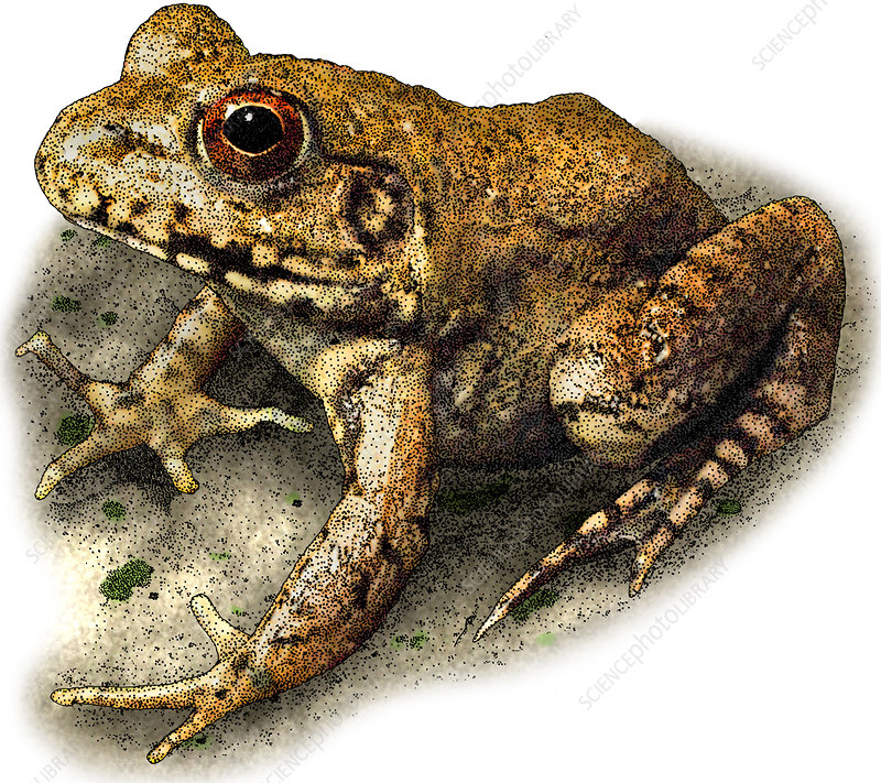 River Frog, Illustration