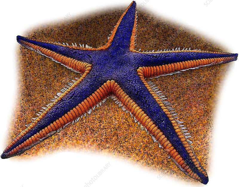 Royal Starfish, Illustration
