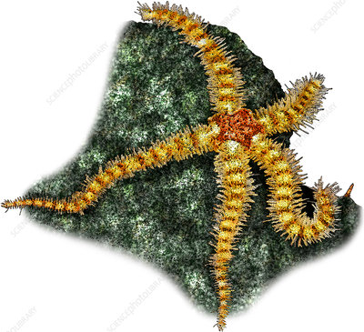 Spiny Brittle Star, Illustration