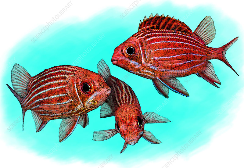 Striped Squirrelfish, Illustration