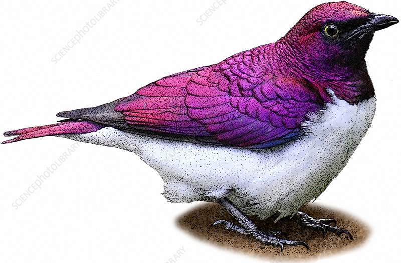 Violet Backed Starling, Illustration